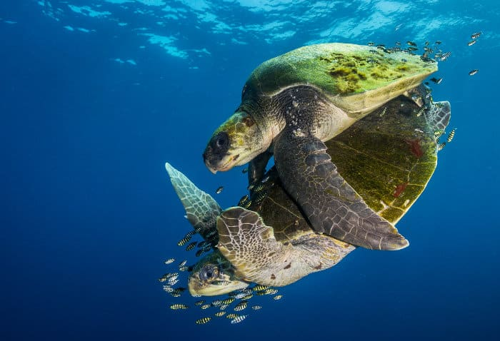 Olive ridley sea turtles mating, off Ensenada de Muertos in Baja California Sur