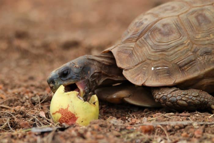 Leopard tortoise eating ripe marula fruit