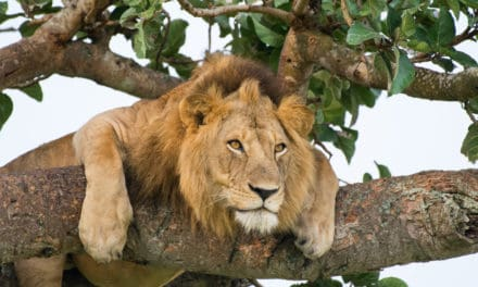 Can lions climb trees? Why they might, and where to see them do it