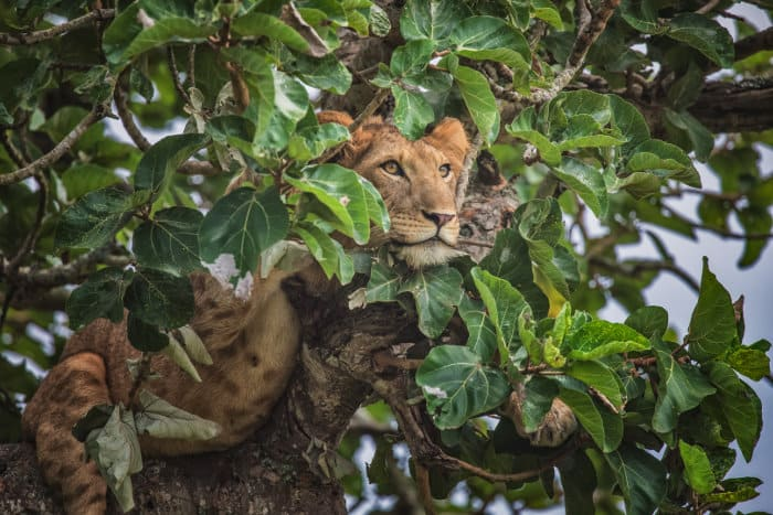 Lion cub in a tree, Ishasha sector, Queen Elizabeth National Park