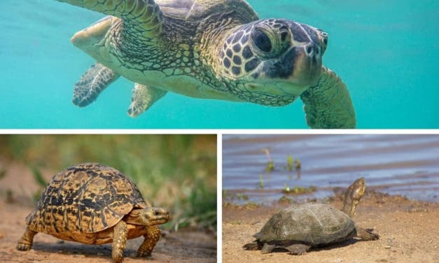 Turtle vs tortoise (vs terrapin): what's the difference between them?