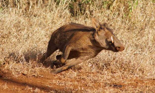 How fast can a warthog run? Top speed & other interesting warthog facts
