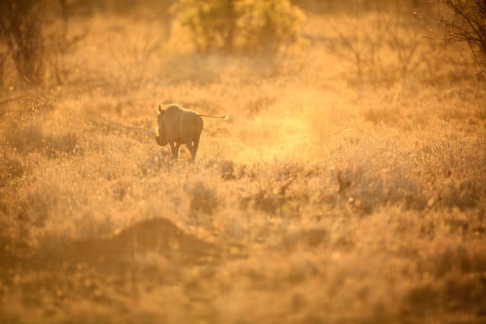 Lone warthog on the move, in late afternoon sunlight