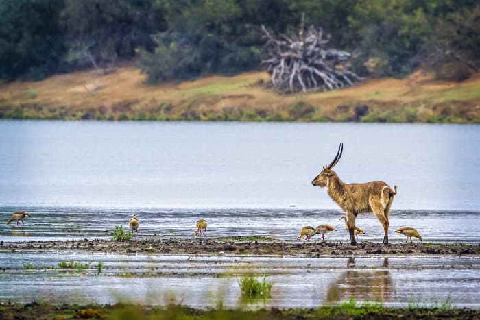 Lone male waterbuck mingling with Egyptian geese