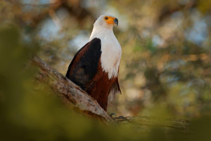 African fish eagle standing on top of a tree, Okavango Delta, Botswana