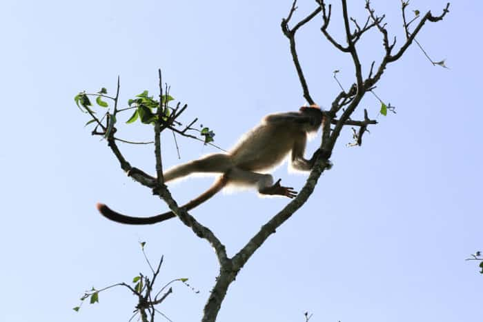 Ashy red colobus monkey leaping in Kibale Forest National Park, Uganda
