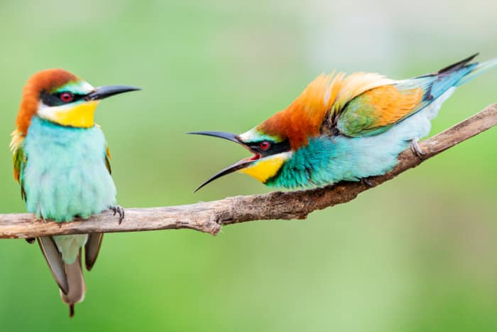 Two European bee-eaters having a little chat