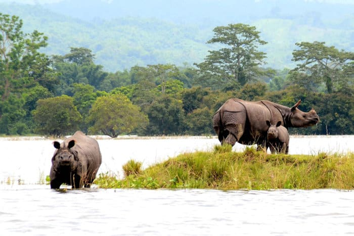 Indian rhinos in Kaziranga National Park, India