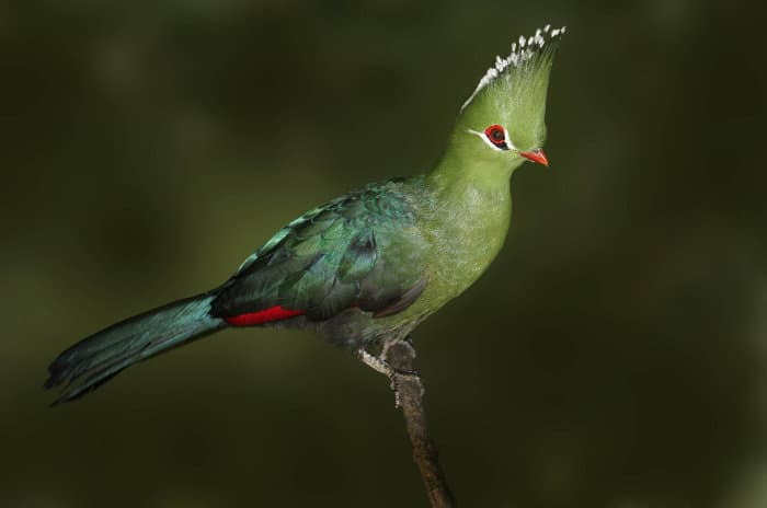 The Knysna turaco is by far one of the most beautiful birds in Africa