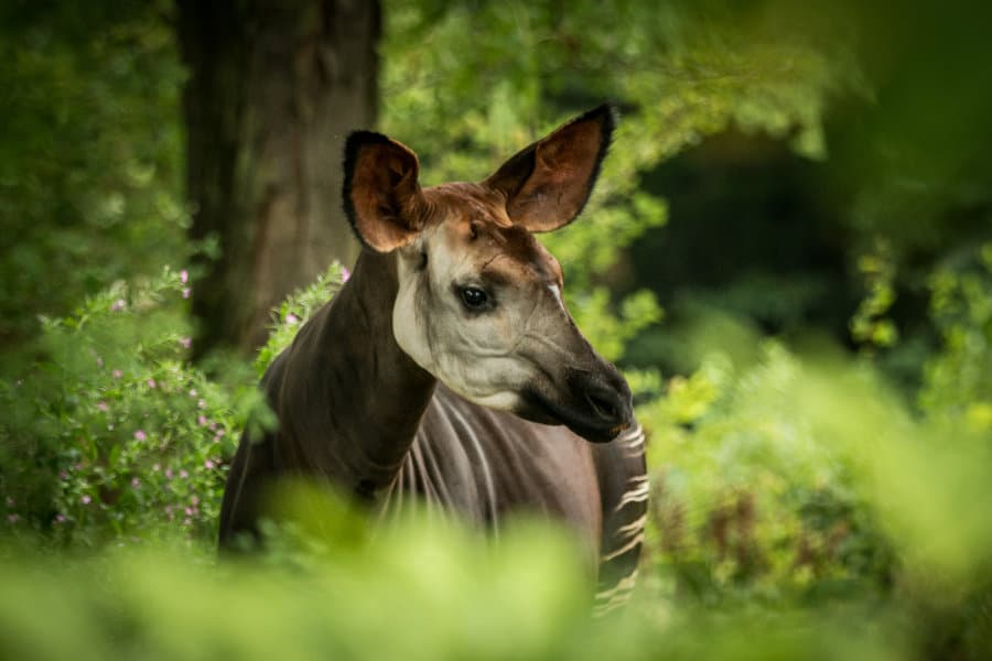 What is an okapi? 9 facts about one of Africa's most unique animals