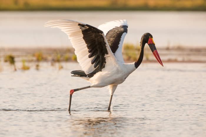Saddle-billed stork hunting in the shallows