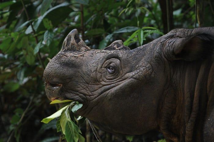 Sumatran rhinoceros portrait, munching on some leaves