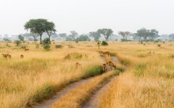Ugandan kob scenery in Queen Elizabeth National Park