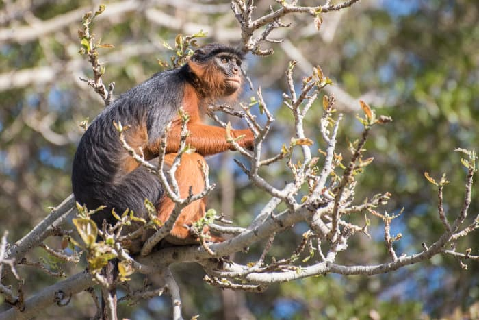 Western red colobus monkey resting on top of a tree