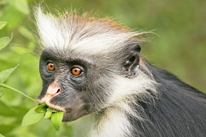 Zanzibar red colobus with a mouthful of leaves