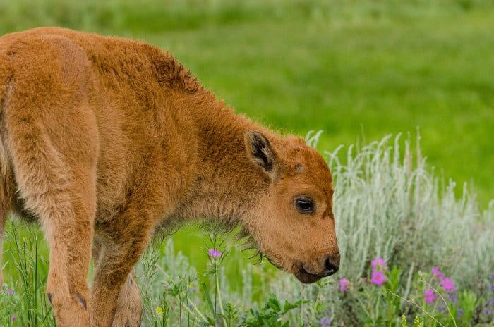 """Bison calf, aka """"red dog"""""""