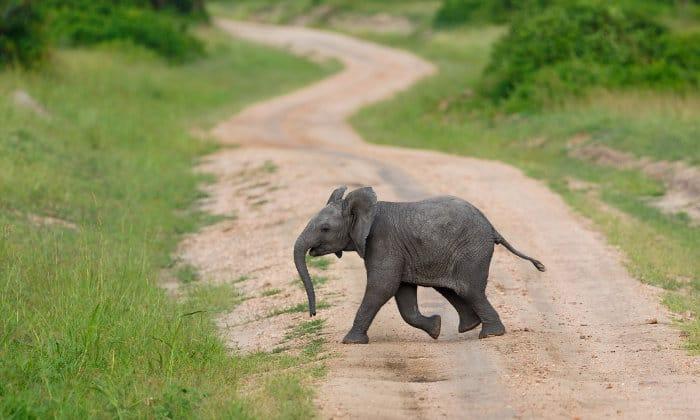 Baby elephant crossing the road in Queen Elizabeth Park, Uganda