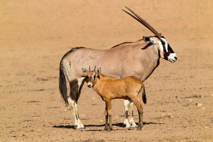 Mom and baby gemsbok in the Kgalagadi Transfrontier Park, South Africa