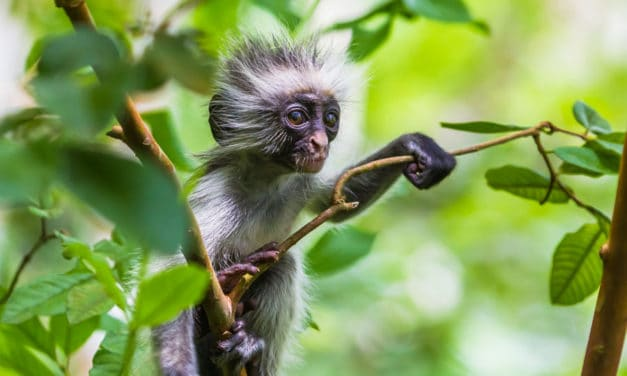 Red colobus monkey – Where do these old-world primates live?