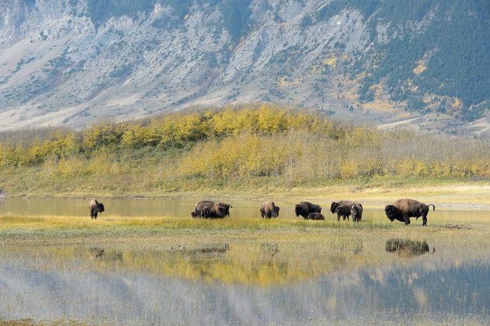 Herd of bison in Alberta, Canada