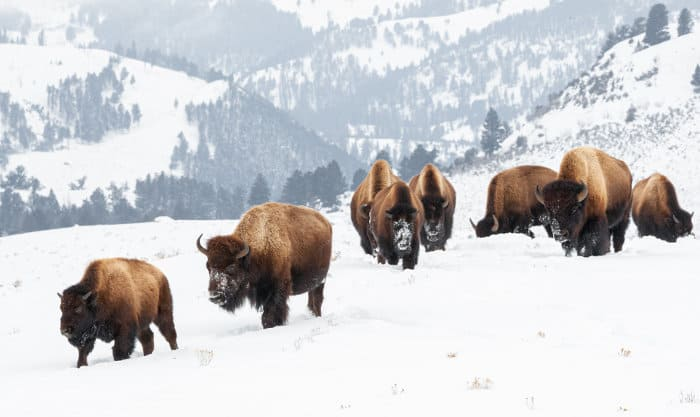 North American bison in the winter snow, Yellowstone