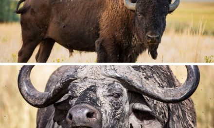 Bison vs buffalo: what is the difference between these bovidae?