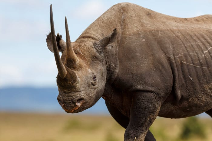 Karanja the black rhino in Masai Mara, Kenya
