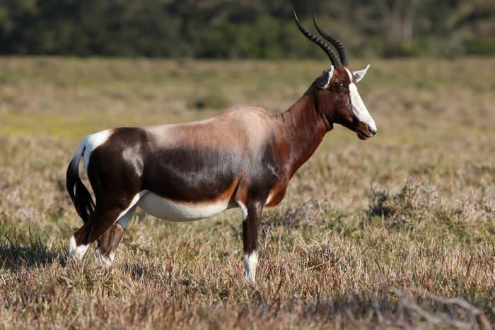 Bontebok antelope portrait, with distinctive white, black and brown markings