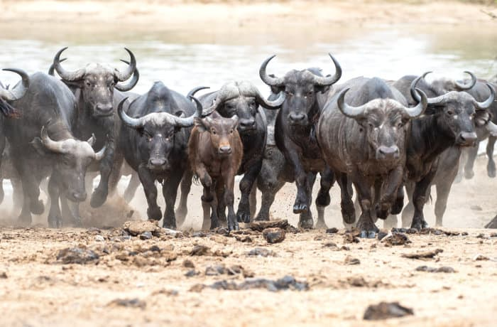 Herd of Cape buffalo on the run, after being scared by a predator