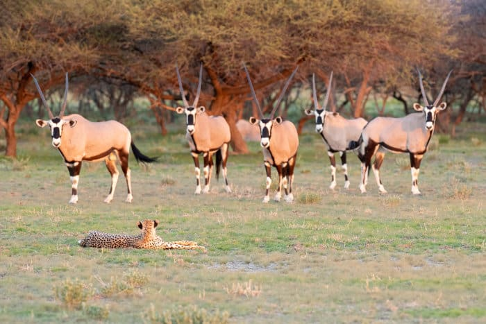 Herd of gemsbok facing a resting cheetah