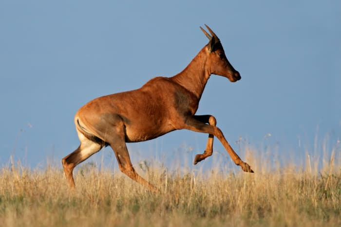 Common tsessebe running in trotting mode, South Africa