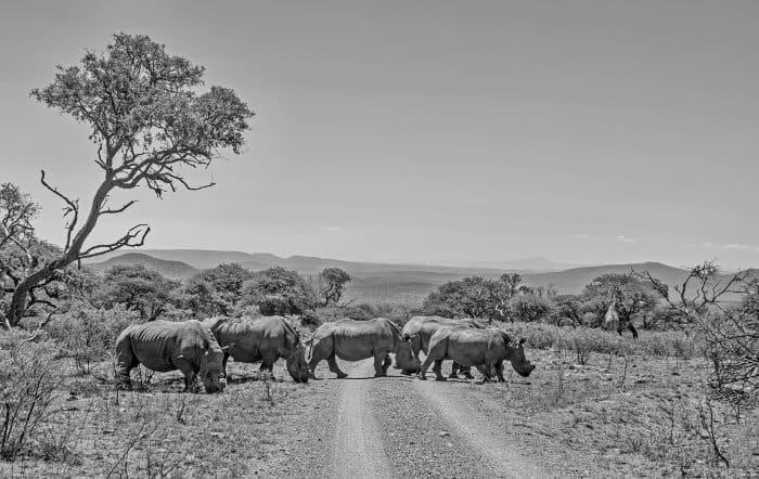 Crash of seven white rhinos crossing the road