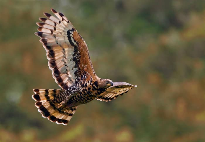 African crowned eagle in flight