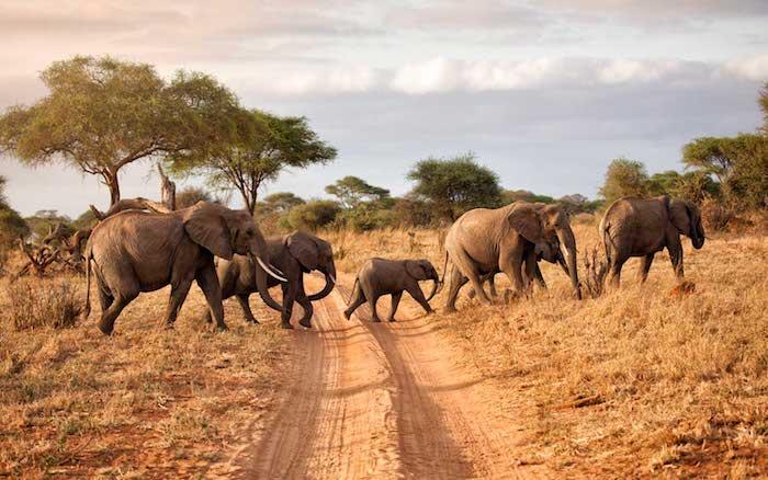 Family of elephants crossing the road in Tarangire National Park, Tanzania