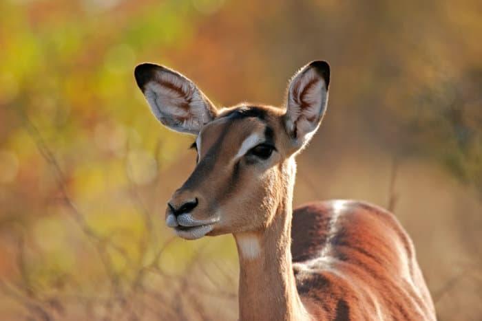 Female impala portrait in Kruger National Park