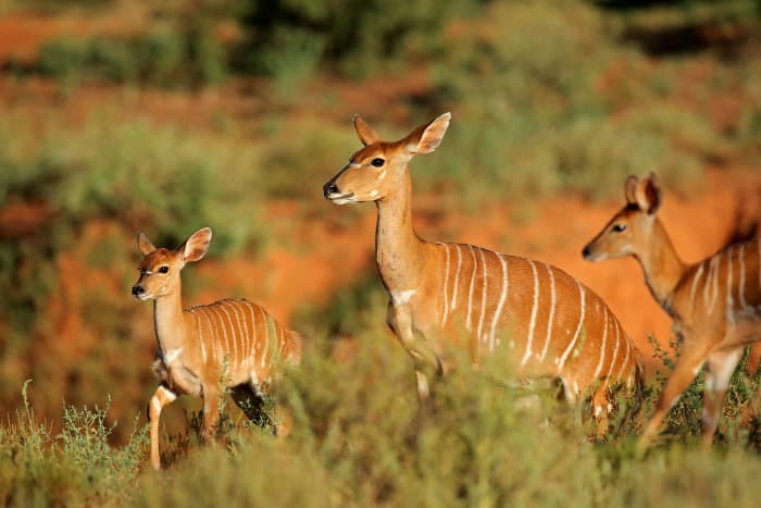 Female nyala and two youngsters