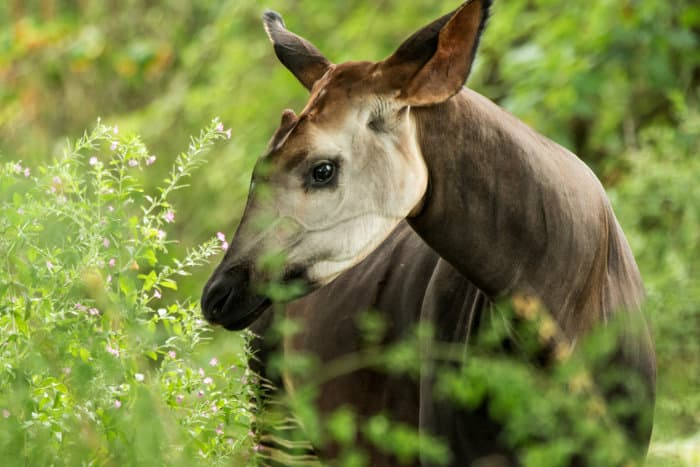 The okapi, or forest giraffe, in its natural environment