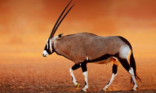 Meet the gemsbok: a stunning, straight-horned African antelope