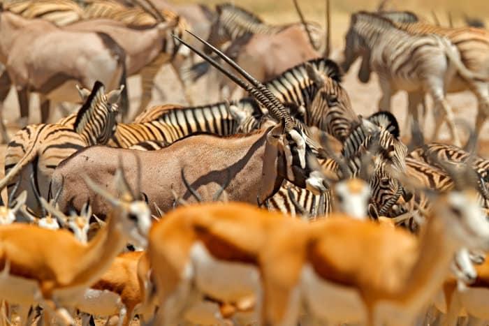 Gemsbok, zebra and springbok at a local waterhole in Etosha