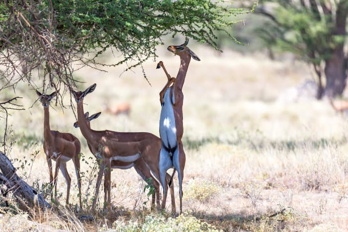 Gerenuk family resting under a tree, with one member feeding
