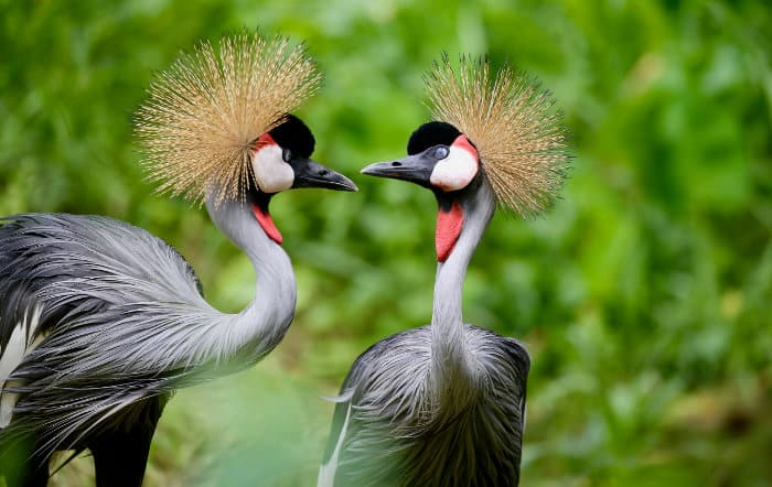 Pair of grey crowned cranes sharing a tender moment
