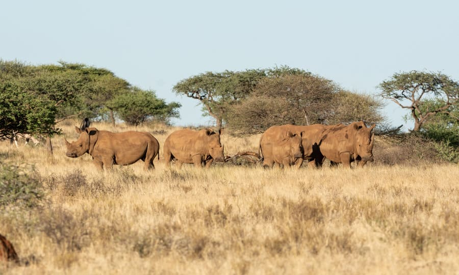 What is a group of rhinos called? Hint: it's not (necessarily) a herd