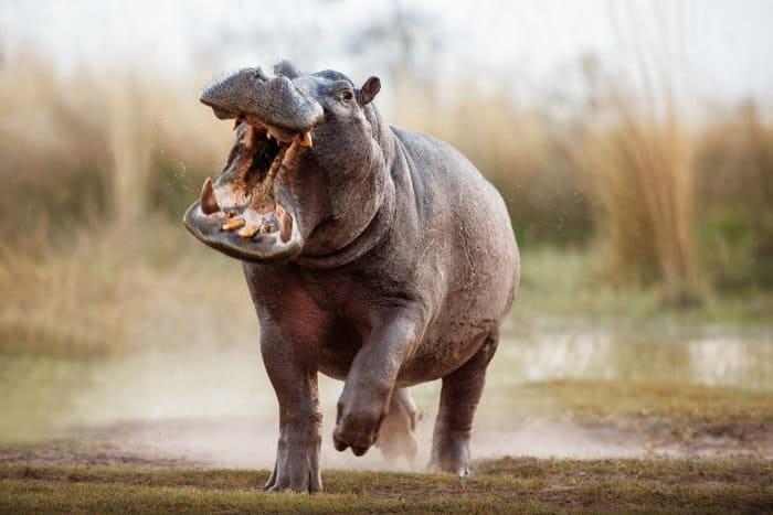 Aggressive male hippopotamus in charging mode