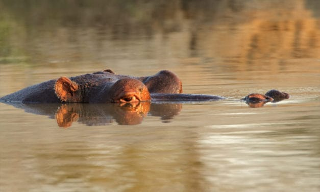How long can a hippopotamus hold its breath underwater?