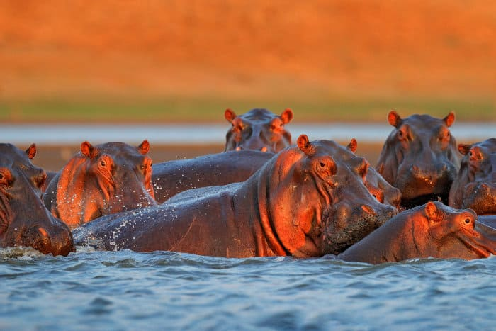 Pod of hippos in late afternoon sun, Mana Pools, Zimbabwe