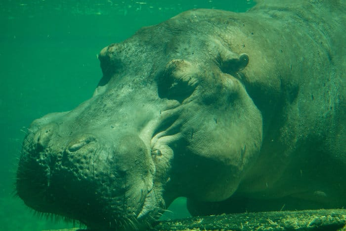 Hippo sleeping underwater, with eyes closed