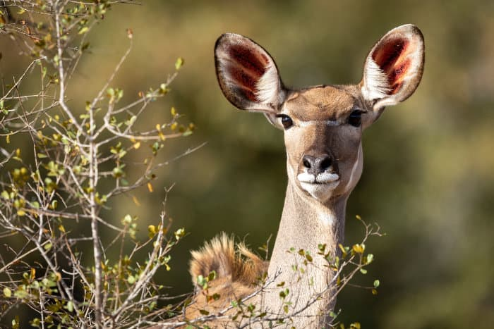 Female kudu portrait in afternoon sunlight. Kudu ears are unmistakably large.