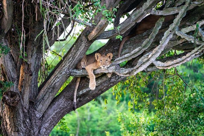 Young lion in a tree, Queen Elizabeth, Uganda
