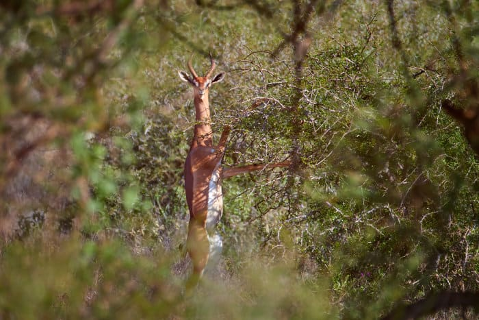 Male gerenuk standing on its hind legs to reach acacia leaves