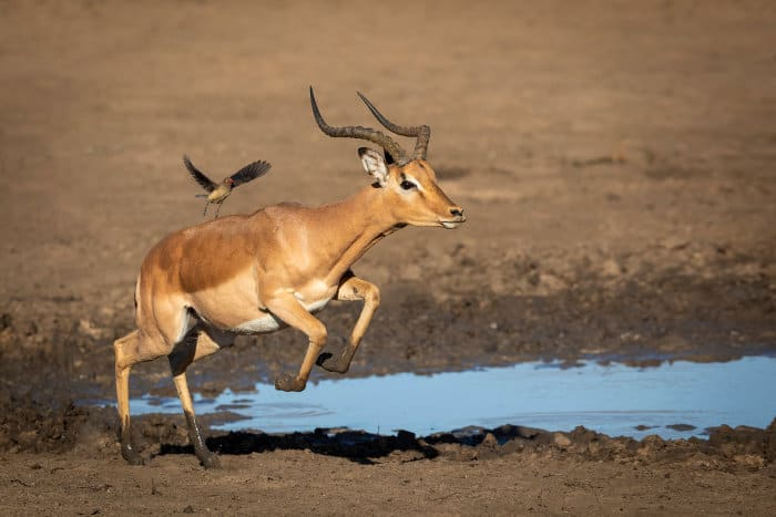 Male impala in running motion, with muddy legs and an oxpecker on its back